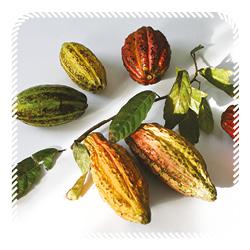 cacao vruchten